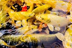 Koi鱼池在日惹 免版税库存图片