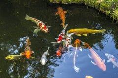 Koi鱼池 图库摄影