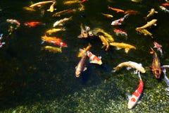 Koi鱼池 库存照片