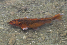 Koi鱼游泳在岩石池塘 库存图片