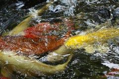Koi鱼游泳在池塘 库存照片