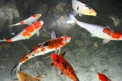 Koi鱼游泳在池塘 免版税库存照片