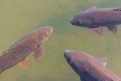 黑koi鱼游泳 免版税库存照片