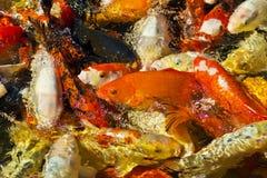 Koi鲤鱼或Nishikigoi为哺养一起会集了 免版税库存照片
