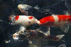Koi鲤鱼 免版税库存图片