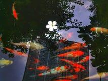 Koi鲤鱼 图库摄影