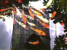 Koi鲤鱼 免版税库存照片