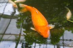 Koi鲤鱼 库存照片