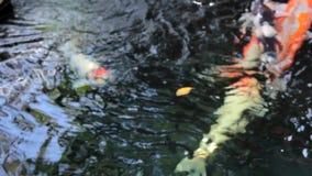 Koi,花梢鲤鱼游泳上面 股票录像