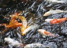 Koi που κολυμπά στο ζωολογικό κήπο Στοκ Φωτογραφίες