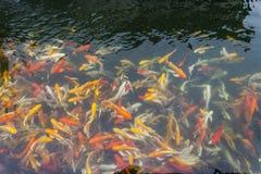 Koi στη λίμνη Στοκ Εικόνες