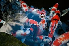 koi Τόκιο ψαριών Στοκ εικόνες με δικαίωμα ελεύθερης χρήσης
