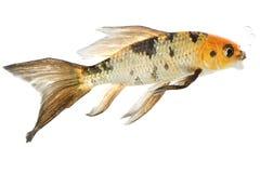 koi ψαριών πεταλούδων Στοκ φωτογραφία με δικαίωμα ελεύθερης χρήσης