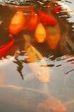 koi ψαριών Στοκ Εικόνα