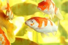 koi ψαριών Στοκ Εικόνες