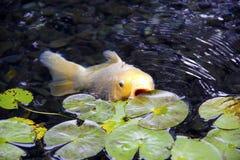 koi ψαριών Στοκ φωτογραφία με δικαίωμα ελεύθερης χρήσης