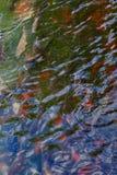 koi ψαριών Στοκ Φωτογραφία