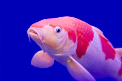 koi большого вырезуба цветастое Стоковая Фотография