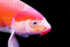 koi большого вырезуба цветастое Стоковые Изображения RF