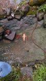 Koi в рыбном пруде стоковое изображение rf