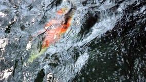 Koi, причудливый карп плавает внутри выше сток-видео