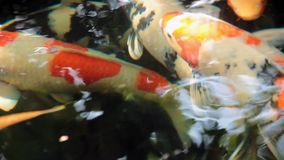 Koi, причудливый карп плавает внутри выше видеоматериал