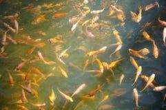 koi рыб младенца Стоковое Изображение