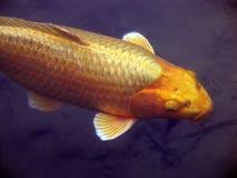 koi рыб Стоковое Фото