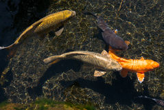 koi рыб Стоковые Фото