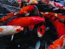 koi рыб Стоковая Фотография