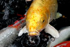 Koi #1. A yellow koi looking at the camera Royalty Free Stock Photos