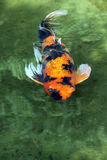 Koi. Orange Black and White Japanese Koi Fish stock photography