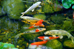 Koi. Fish in a natural stone pond royalty free stock photos
