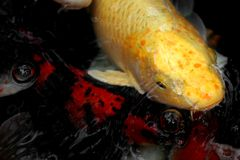 Koi #2. A yellow koi swimming in a pond Stock Photo