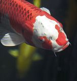 Koi Royalty Free Stock Images