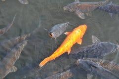 鱼koi 库存照片