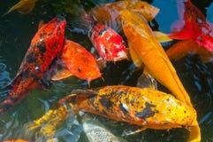 Koi. Japanese Koi fish in a pond Stock Photo