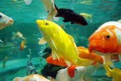 Красивейшее koi в воде стоковое изображение