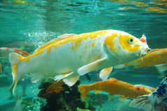 Красивейшее koi в воде стоковая фотография rf