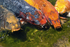 Koi. Fish line up at the edge of a pond waiting to be fed Stock Photos