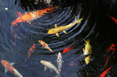 Koi royalty free stock photo