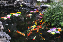 Koi. Pond with koi fishes in it at shanghai park Royalty Free Stock Photos