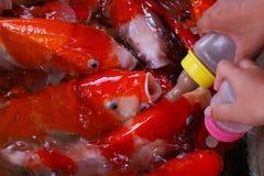 Koi Imagens de Stock