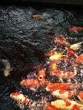Koi Foto de Stock