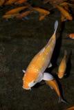鱼koi 免版税图库摄影