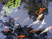 Koi Royalty Free Stock Photos