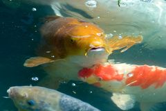 Koi Royalty Free Stock Photography