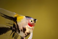 Koi angelfish pterophyllum scalare aquarium fish isolated. Fish royalty free stock photos