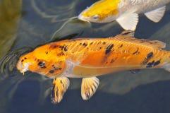 Koi arancione della carpa Immagine Stock