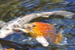 Koi arancione della carpa Immagini Stock Libere da Diritti